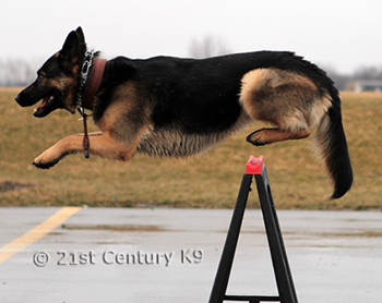21st Century K9 German Shepherd