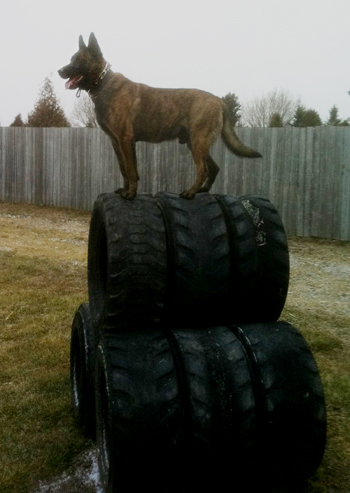 21st Century K9 Dutch Shepherd
